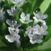 Valerianaceae > Valerianella locusta - Doucette