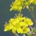 Brassicaceae > Draba aizoides - Drave faux aïzoon