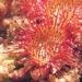 Droseraceae > Drosera rotundifolia - Droséra à feuilles rondes