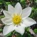 Rosaceae > Dryas octopetala - Dryade à huit pétales