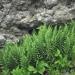 Dryopteridaceae > Dryopteris villarii - Dryopteris de Villars