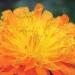 Asteraceae > Hieracium aurantiacum - Épervière orangée