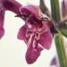 Lamiaceae > Stachys sylvatica - Épiaire des bois