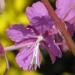 Onagraceae > Epilobium angustifolium - Épilobe en épi