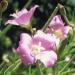 Onagraceae > Epilobium hirsutum - Épilobe hérissé