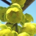 Berberidaceae > Berberis vulgaris - Épine-vinette