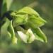 Orchidaceae > Epipactis muelleri - Épipactis de müller