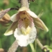 Orchidaceae > Epipactis palustris - Épipactis des marais