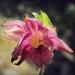 Orchidaceae > Epipactis atrorubens - Epipactis pourpre noirâtre