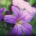 Scrophulariaceae > Erinus alpinus - Érine des alpes