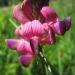 Fabaceae > Onobrychis montana - Esparcette des montagnes