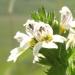 Scrophulariaceae > Euphrasia sp. - Euphraise
