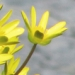 Ranunculaceae > Ficaria verna - Ficaire