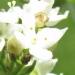 Rubiaceae > Galium boreale - Gaillet boréal