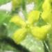 Rubiaceae > Cruciata laevipes - Gaillet croisette