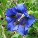 Gentianaceae > Gentiana clusii - Gentiane de l'écluse