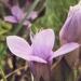 Gentianaceae > Gentianella campestris - Gentiane des champs