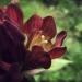 Gentianaceae > Gentiana purpurea - Gentiane pourpre