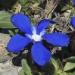 Gentianaceae > Gentiana sp. - Gentiane