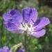 Geraniaceae > Geranium sylvaticum - Géranium des bois