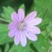 Geraniaceae > Geranium pyrenaicum - Géranium des Pyrénées
