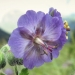 Geraniaceae > Geranium phaeum - Géranium livide