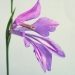 Iridaceae > Gladiolus palustris - Glaïeul des marais