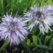 Globulariaceae > Globularia cordifolia - Globulaire cordée