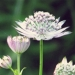 Apiaceae > Astrantia major - grande Astrance
