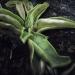 Lentibulariaceae > Pinguicula vulgaris - Grassette commune