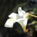 Lentibulariaceae > Pinguicula alpina - Grassette des Alpes