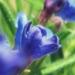 Boraginaceae > Lithodora prostrata - Grémil à rameaux étalés