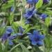 Boraginaceae > Buglossoides purpurocaerulea - Grémil pourpre bleu