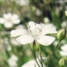 Caryophyllaceae > Gypsophila repens - Gypsophile rampante