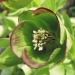 Ranunculaceae > Helleborus foetidus - Hellébore fétide