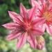 Crassulaceae > Sempervivum arachnoideum - Joubarbe aranéeuse