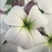 Brassicaceae > Hesperis matronalis - Julienne des dames