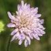 Dipsacaceae > Knautia arvensis - Knautie des champs