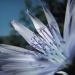 Asteraceae > Cicerbita plumieri - Laitue de plumier