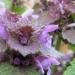 Lamiaceae > Lamium purpureum - Lamier pourpre