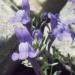Scrophulariaceae > Linaria alpina subsp petraea - Linaire des pierriers