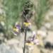 Scrophulariaceae > Linaria repens - Linaire rampante