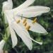 Xanthorrhoeaceae >Paradisea Liliastrum - Lis des alpes
