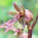 Orchidaceae > Neottia cordata - Listère en coeur