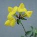 Fabaceae > Lotus corniculatus - Lotier corniculé