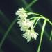 Juncaceae > Luzula nivea - Luzule blanc de neige