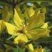Primulaceae > Lysimachia punctata - Lysimaque ponctuée