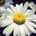 Asteraceae > Leucanthemum vulgare - Marguerite