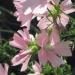Malvaceae > Malva moschata - Mauve musquée