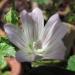 Malvaceae > Malva neglecta - petite Mauve